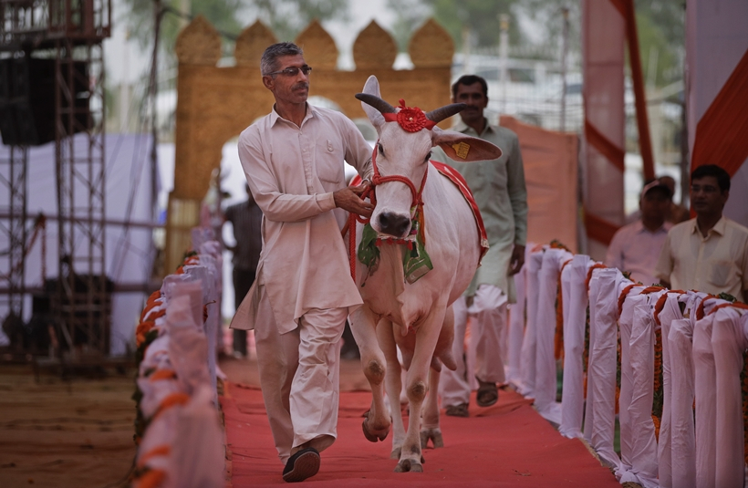 An Indian man leads a cow on a ramp during a bovine beauty pageant in Rohtak, India, Saturday, May 7, 2016. Hundreds of cows and bulls walked the ramp in the bovine beauty pageant aimed at promoting domestic cattle breeds and raising awareness about animal health.(AP Photo/Altaf Qadri)