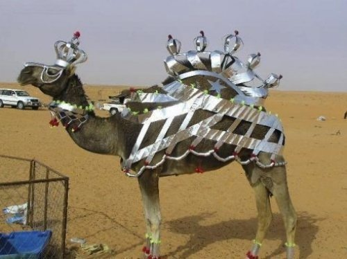 A-camel-with-a-crown-Dubai
