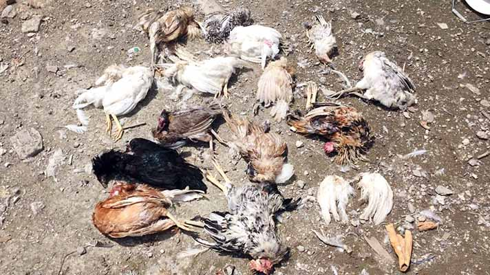 straydogs killed hen