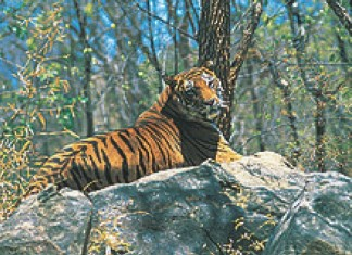 tiger at kozhikode