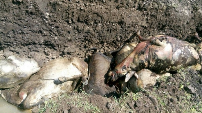 palakkad temperature rise calf died
