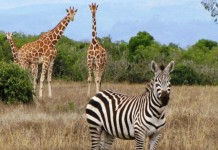 zebra and giraffe to be a part of tvm zoo