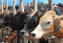 Gujarat government to introduce harsher punishment for cow slaughter