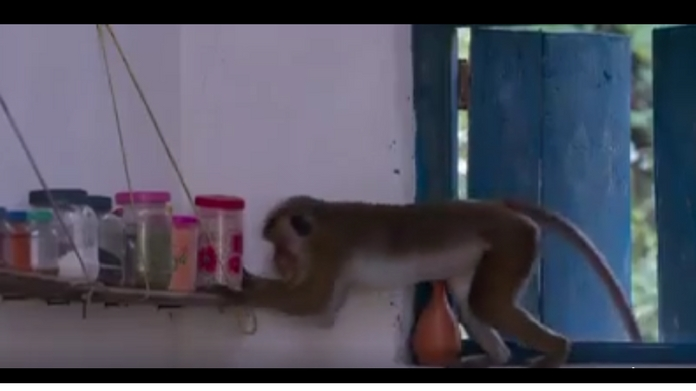 monkey stealing food from kitchen