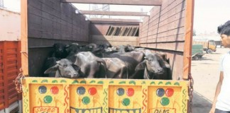man attacked at delhi for transporting buffallo