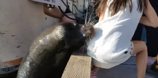 Sea lion drags girl Steveston waters