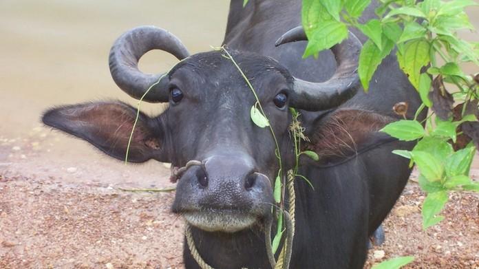 buffallo attacked man