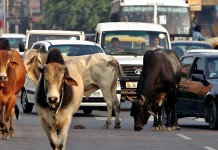 police-jeep-tries-to-save-cow-kills-woman