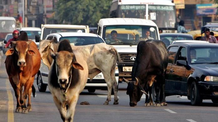 police-jeep-tries-to-save-cow-kills-woman