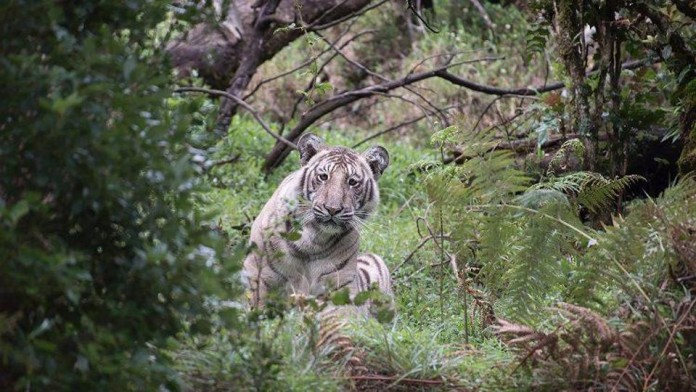 rare white tiger spotted at nilgris