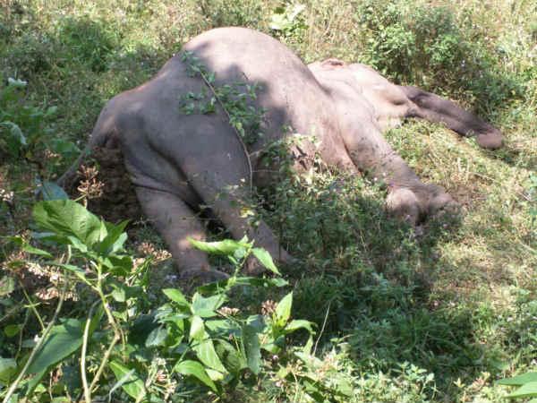 wild elephant dead pooyamkutty forest