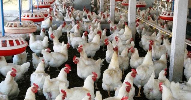 poulty farming
