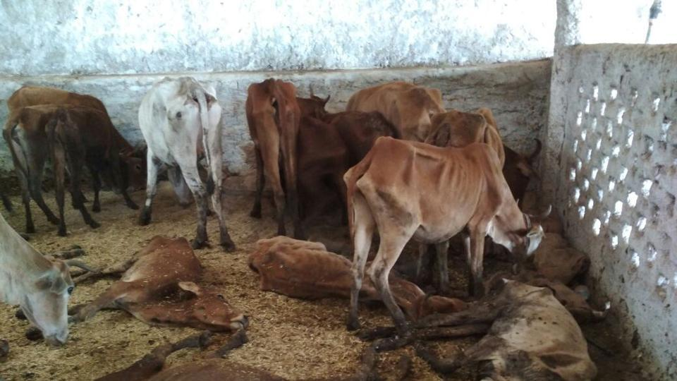 bjp leader booked for death of 200 cows owned by him