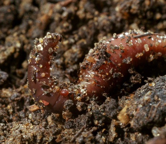 two new earthworm species found