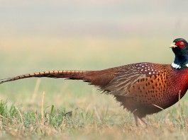 Pheasant the bird can sense earthquake