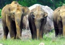 wild elephant (1)