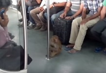 monkey in metro video