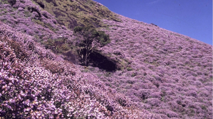 neelakurinji blooms action against kurinji garden encroachers to be diluted neelakurinjisactuary will came into reality without ousting anyone