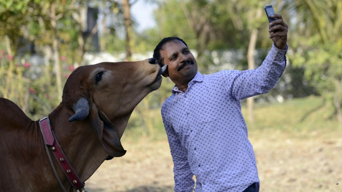 selfie with cow