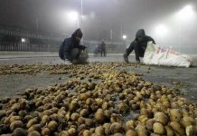 potato farmers protest