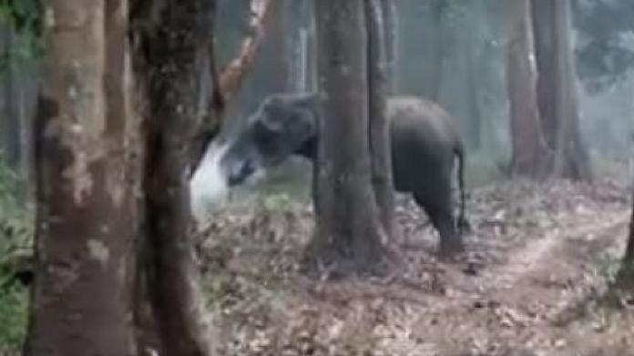Elephant smokes