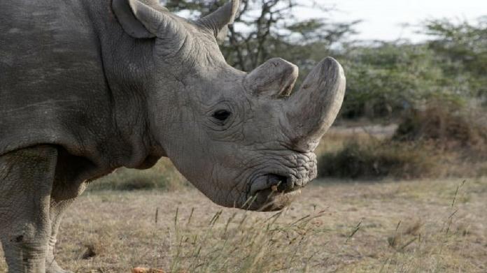 worlds last male white rhino dead