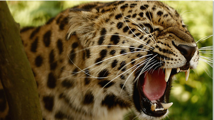 leopard killed 7 year old angered mob set forest on fire