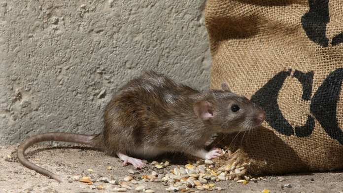 chicago named as the rat capital