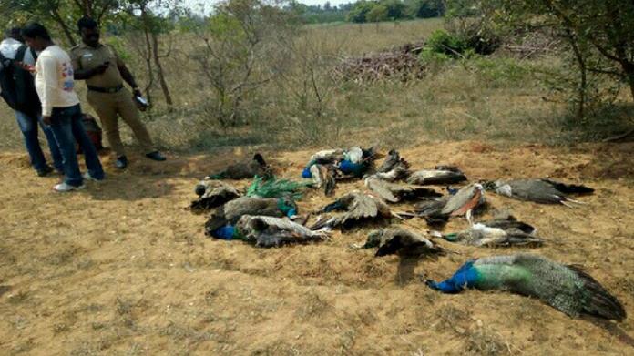 47 peacocks dead near madurai