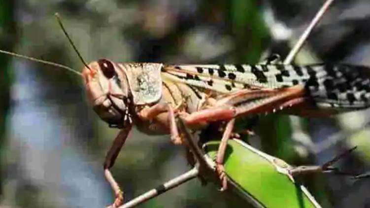 Locusts attack: vigilant in nation