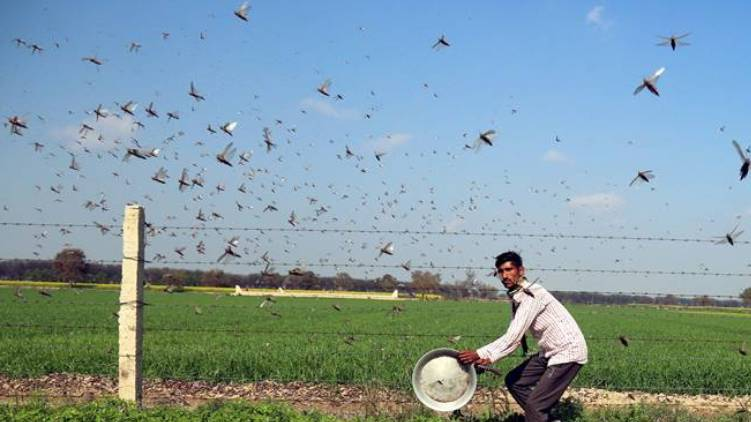 crop damage by locusts in villages of Uttar Pradesh
