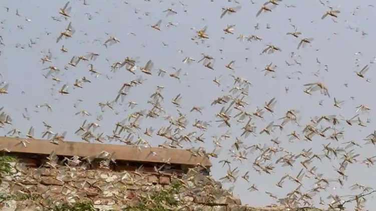 Locusts attack: vigilant in Delhi