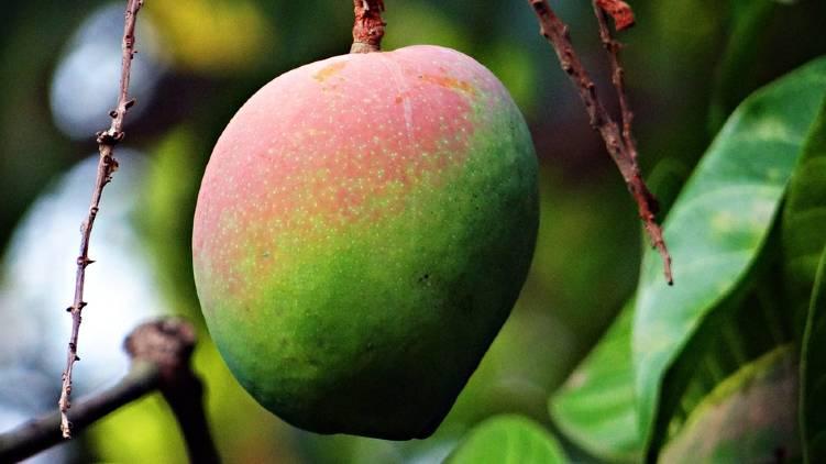 indias first mango heritage village
