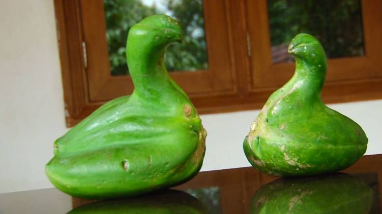 malappuram duck shaped pappaya shocks internet