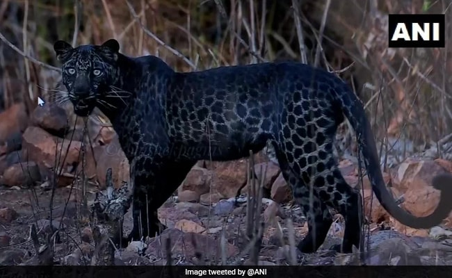 Pune Based Photographer On Viral Black Leopard Picture