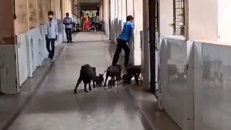 Pigs Covid hospital Karnataka