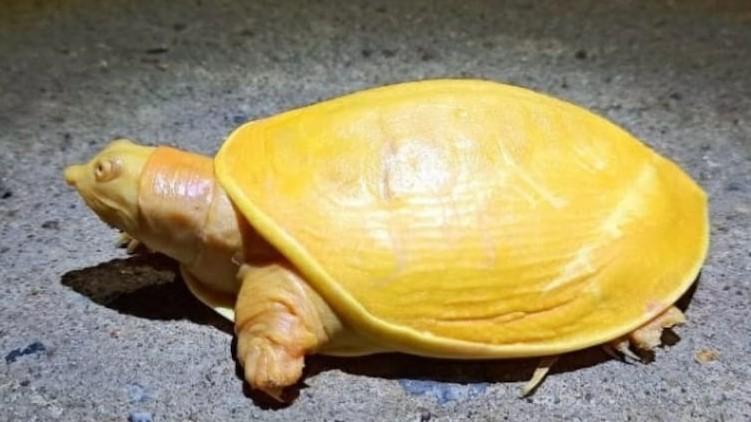 yellow turtle Odisha