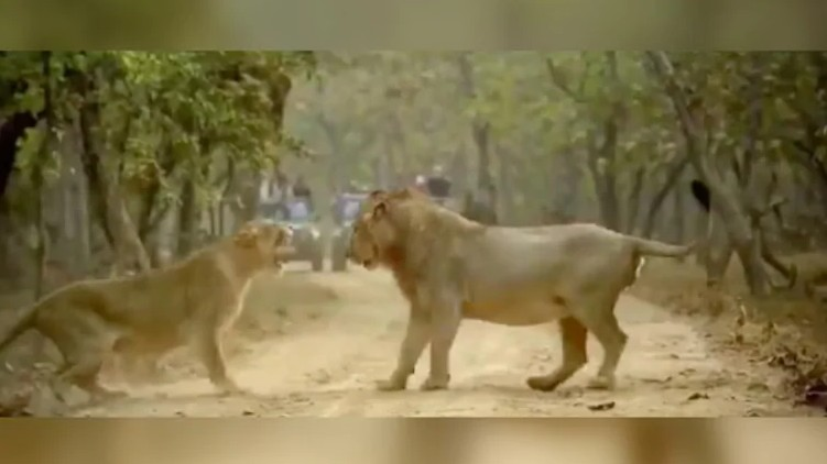 Fight between lion lioness