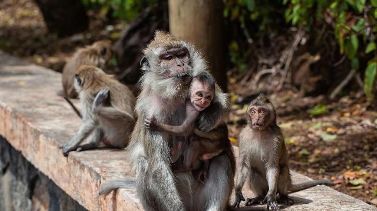monkeys steal 25000 jewellery