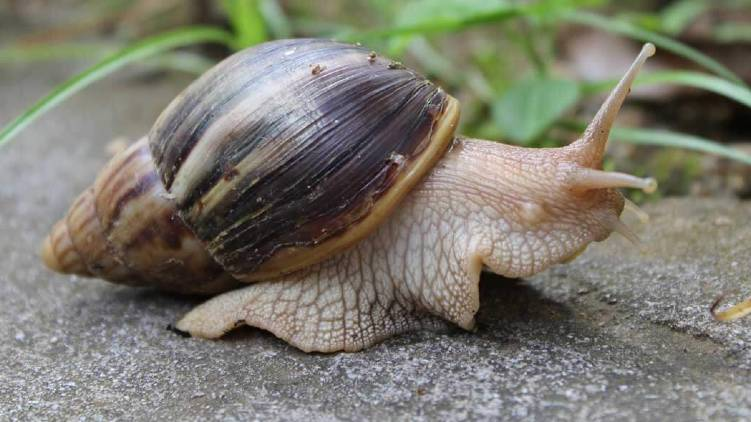 pattambi ongallur suffer under african snail
