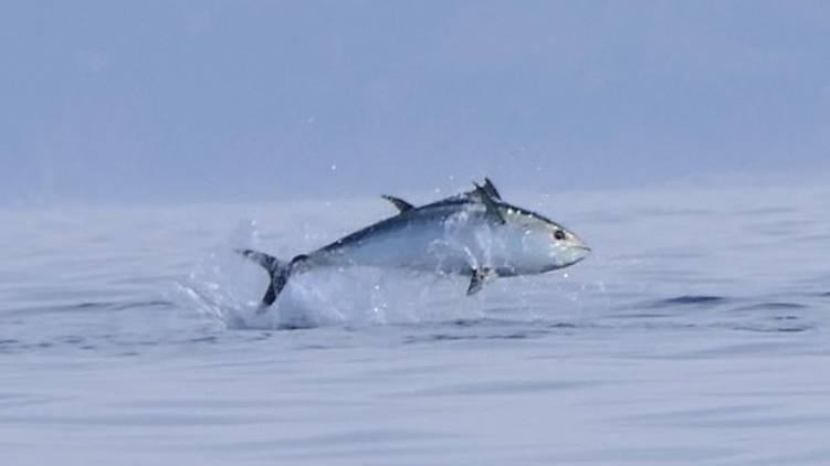 worlds costliest fish