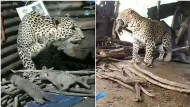 Leopard Birth Hut Cubs