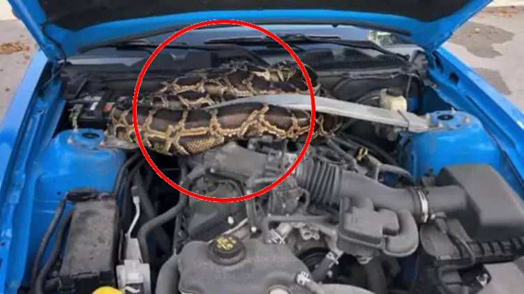 10 Foot Python in car horrific video