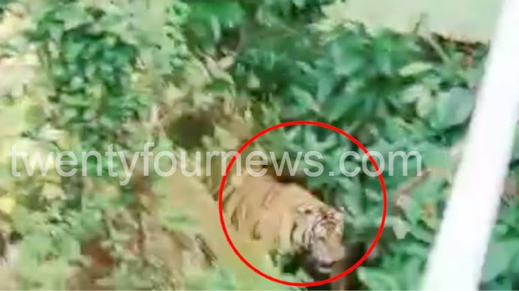 Tiger and tiger cubs in a populated area in Wayanad