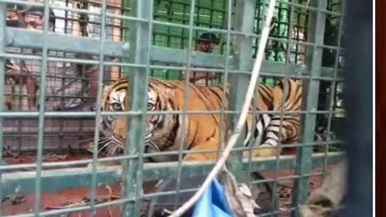 Tiger escape incident: Investigation report says no sabotage