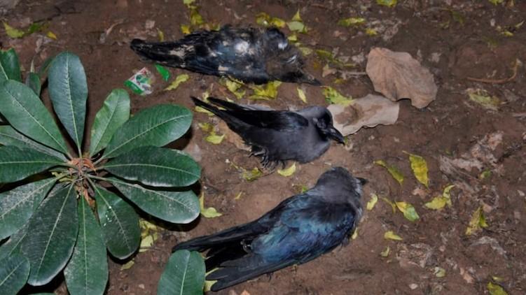Crows dead Delhi flu