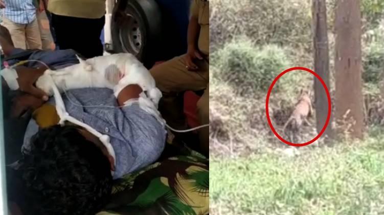 tiger attack kolavalli wayanad