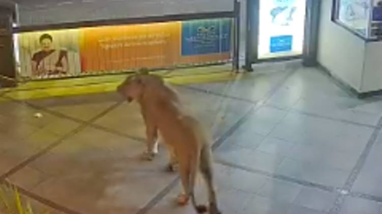 lion at hotel