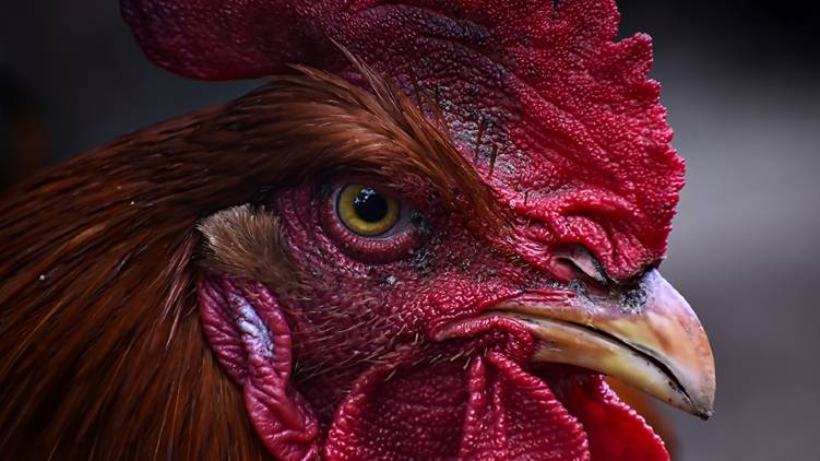 rooster killed owner during cockfight murderer in custody