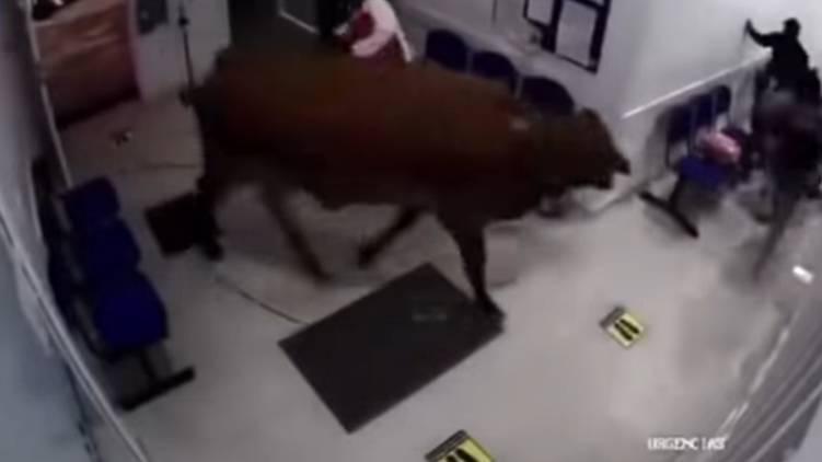violent cow enters hospital video